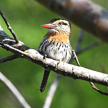Nystalus striatipectus - Chaco (or streak-bellied) Puffbird.JPG