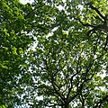 Oak Canopy - geograph.org.uk - 811790.jpg