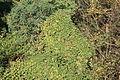Oberhausen - Knappenhalde - Humulus lupulus 01 ies.jpg