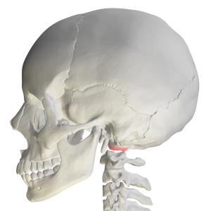 Occipital condyles