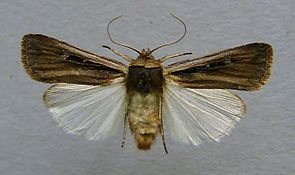Ochropleura leucogaster.jpg