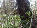 Odvas keltikék a Buga-csatorna partján.jpg