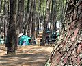 Olbers Paradox Pinus pinaster.jpg