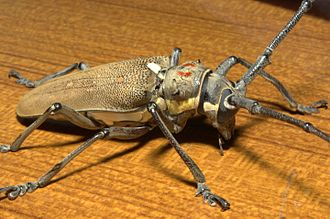 Glossary of entomology terms - Beetle in the family Cerambycidae with conspicuous emargination of the compound eye (black) where it extends partway round the base of the antenna