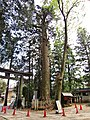 Omiya Atsuta Shrine Abies firma.jpg