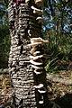 Omphalotus nidiformis Sylvan Grove 4 orig.JPG