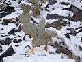 Opuntia basilaris77.jpg