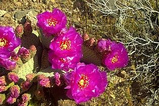 Opuntia basilaris flowers Mojave.jpg