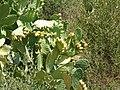 Opuntia ficus-indica,Morocco.jpg