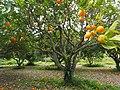Orange-tree-1117423.jpg