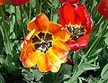 Orange hybrid darwin tulip and red fringed tulip.jpg