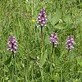 Orchis.militaris.x.Orchis.purpurea.8221.jpg