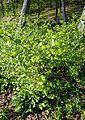 Orixa japonica kz1.jpg
