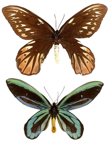 Ornithoptera alexandrae.png