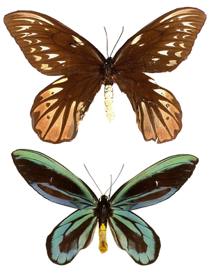 Queen Alexandra's birdwing - Female (above) and male (below), not to scale