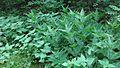 Orties (Urtica) Urticacées, deux variétées.jpg