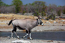 Oryx gazella male 8054.jpg