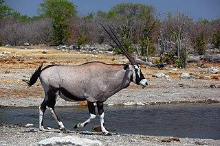 <i>Oryx</i> genus of mammals