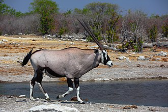 Oryx - Male Gemsbok (Oryx gazella) at Etosha National Park.