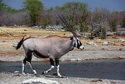 Oryx gazella male 8054.jpg