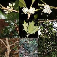 Osmanthus heterophyllus (Montage s2).jpg