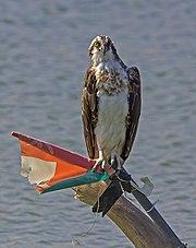 Osprey yiti