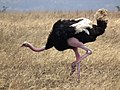 Ostrich Struthio camelus Tanzania 3740 Nevit.jpg