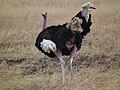 Ostrich Struthio camelus Tanzania 3749 Nevit.jpg