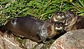Otters (6378308921).jpg