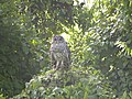 Owl (9272201136).jpg