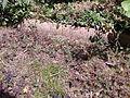 Oxalis corniculta woeker.jpg