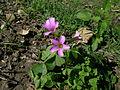 Oxalis debilis flower3 (14543204937).jpg