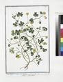 Oxys lutea - Oxys, sive Trifolium acetosum, flore luteo - Acetofella - Aleluia à fleur jaune (NYPL b14444147-1124960).tiff