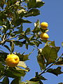 P2101990,lemon.jpg