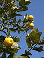 Научное название лимонного дерева