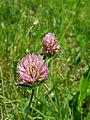 PP Na Popovickem kopci 060 Trifolium pratense.jpg