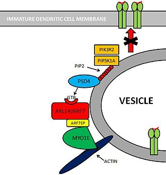 MHC class II -  Pathway showing how MHC-II distribution is controlled within Immature Dendritic Cells.