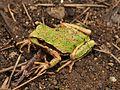 Pacific Tree Frog (Pseudacris regilla) 3.JPG