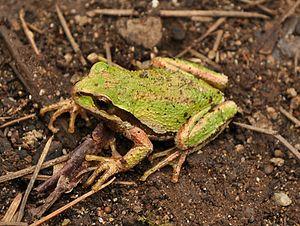 Pacific tree frog - Image: Pacific Tree Frog (Pseudacris regilla) 3
