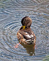 Paddling and Preening (15021342279).jpg