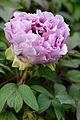 Paeonia suffruticosa Fuso-no-Tsukasa JdP 2013-04-28 n01.jpg