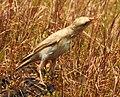 Pale rockfinch (ഇളം പാറക്കുരുവി ) - 13.jpg