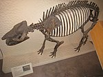Paleosyops paludosus - National Museum of Natural History - IMG 2011.JPG