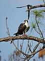 Pandion haliaetus (with prey).jpg