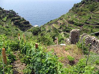 Bracciola nera - Bracciola nera is grown in the province of La Spezia which includes the terraced vineyards of Cinque Terre (pictured).
