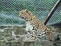 Panthera pardus orientalis2.JPG