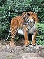 Panthera tigris corbetti 02.jpg