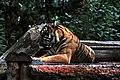 Panthera tigris sumatrae evening shot.jpg