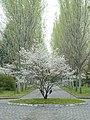 Pantin cimetiere parisien Avenue des peupliers argentés au printemps.jpg