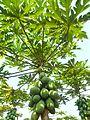 Papaya plantation near Fushan town, Hainan, China - 06.jpg